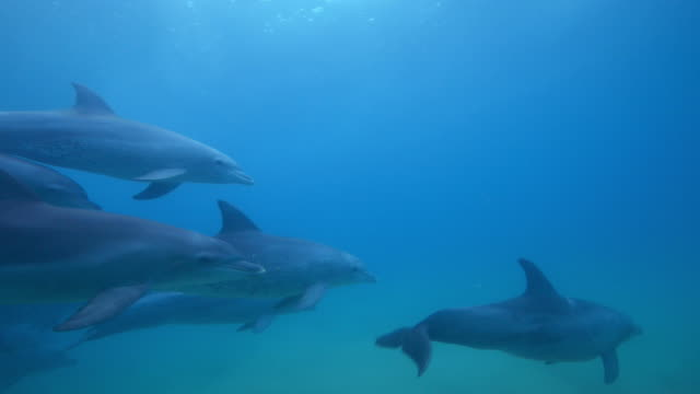 underwater pan and track with large group of bottlenosed dolphins swimming in shallows - cetaceo video stock e b–roll