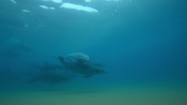stockvideo's en b-roll-footage met underwater pan and track with large group of bottlenosed dolphins including small calf swimming in shallows - tuimelaar