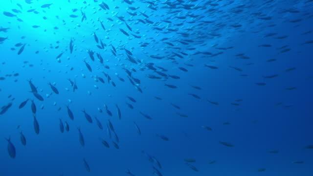 Underwater LA as Kingfish shoal stream past camera