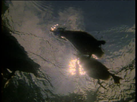 underwater backlit shot of red-breasted merganser and ducklings swimming on surface, usa - babyhood stock videos & royalty-free footage