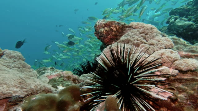 underwater banded sea urchin (echinothrix calamaris) on coral reef - sea urchin stock videos & royalty-free footage