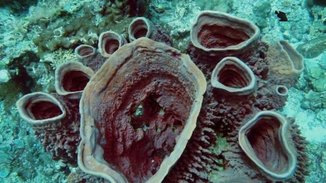 vídeos y material grabado en eventos de stock de submarino coral de esponja barril (xestospongia testudinaria) en arrecifes de coral vista desde arriba - mar de andamán