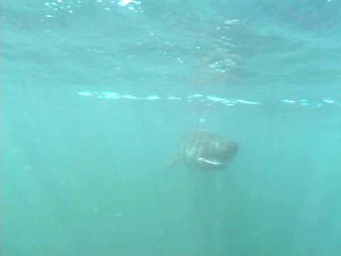 underwater cu basking shark turning head pass camera. hebrides, scotland, uk - hebrides stock videos & royalty-free footage