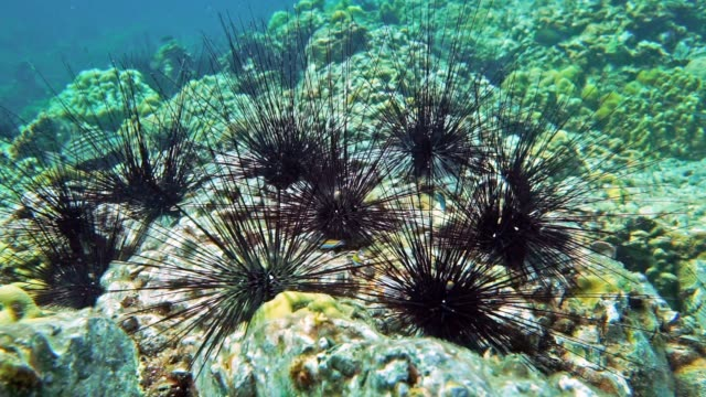 underwater black long spined sea urchin (diadema setosum) - ricci di mare video stock e b–roll