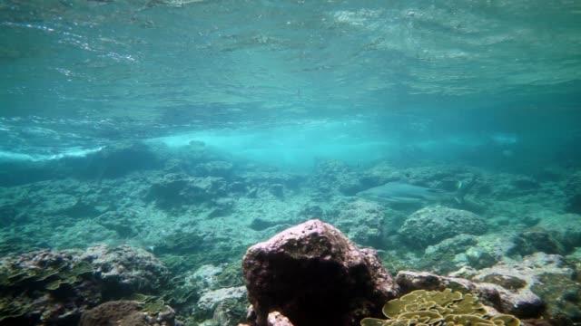 unterwasser black tip reef shark (carcharhinus melanopterus) schwimmen am korallenriff, phi phi inseln, thailand - rückenflosse stock-videos und b-roll-filmmaterial