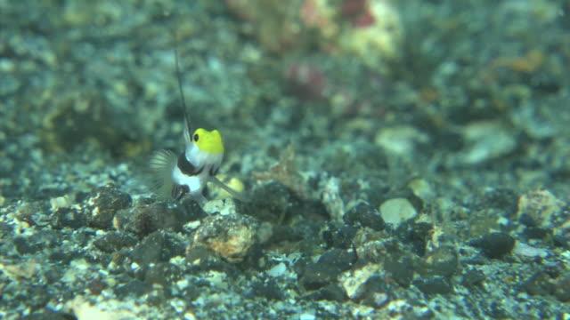 underwater, black-ray goby and pistol shrimp, izu oshima, japan - えび点の映像素材/bロール