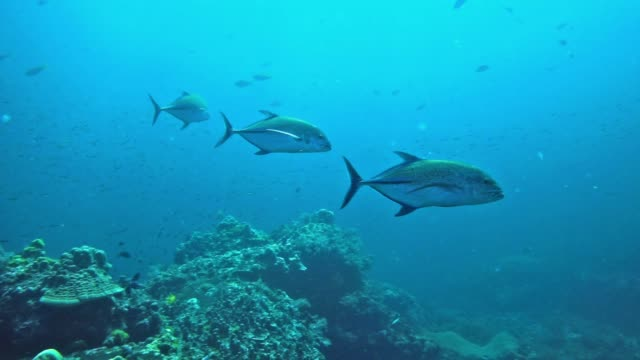 underwater bluefin trevally hunting behavior, hin daeng, thailand - scuba diver point of view stock videos & royalty-free footage