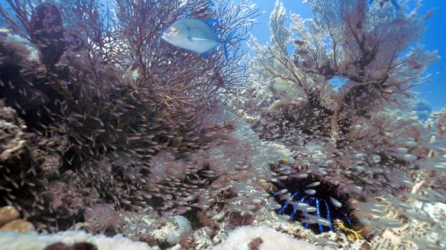 underwater bluefin trevally (caranx metampygus) hunting glass fish aka pygmy sweeper (parapriacanthus ransonneti) - gorgonian coral stock videos & royalty-free footage
