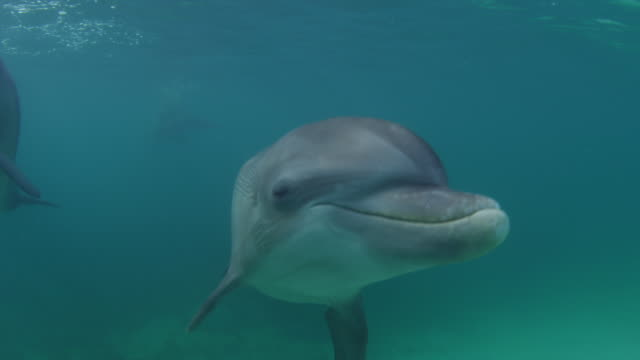 underwater cu bottlenosed dolphin swims very close to camera and looks into lens - tursiope video stock e b–roll