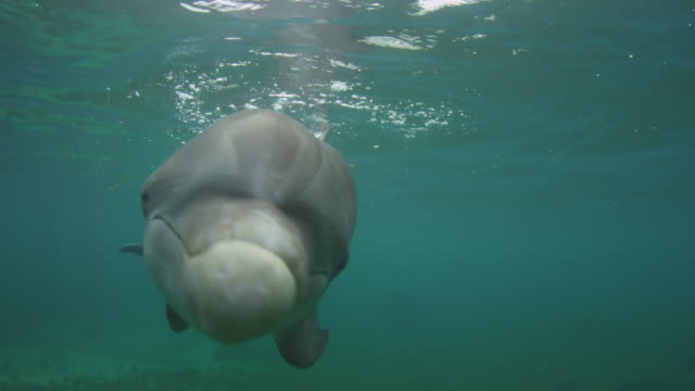 vídeos de stock, filmes e b-roll de underwater cu bottlenosed dolphin swims very close to camera and looks into lens - zoologia