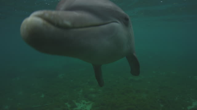 vídeos de stock, filmes e b-roll de underwater cu bottlenosed dolphin very close to camera and looking into lens joined by second dolphin - zoologia