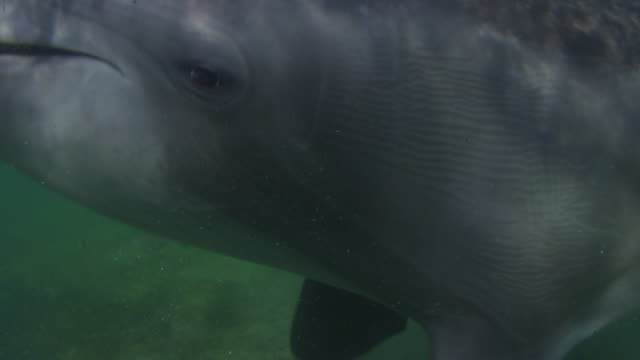 Underwater CU Bottlenosed Dolphin with eye and blowhole and head action