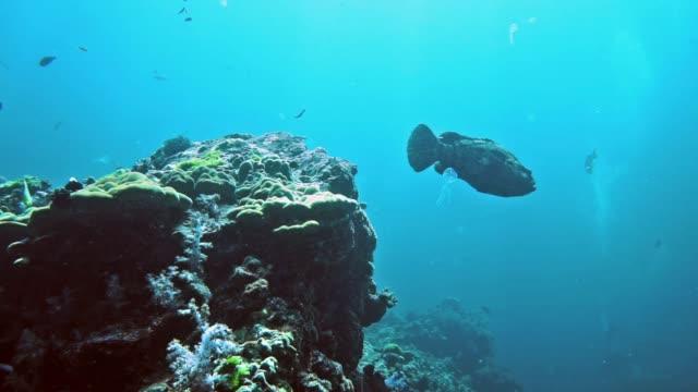 Unterwasser braun marmoriert Zackenbarsch (Epinephelus Fuscoguttatus) am Korallenriff