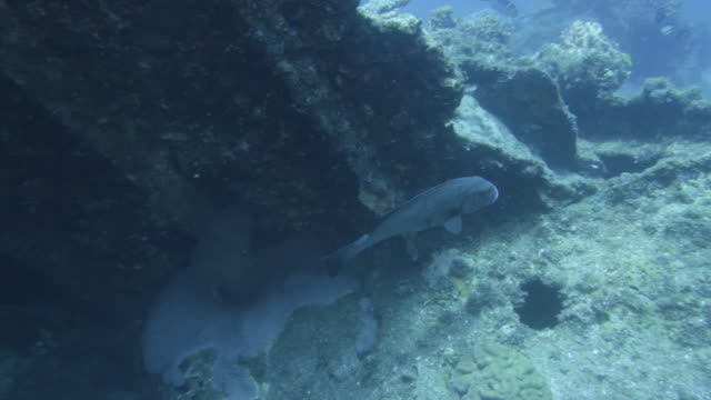 underwater, brownspotted grouper, ogasawara, japan - sea bass stock videos & royalty-free footage