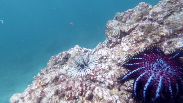 水中の穴あきウニ(エキノメトラマタエイ)とトロースの王冠海の星(アカントスタープランチ) - ヒトデ点の映像素材/bロール