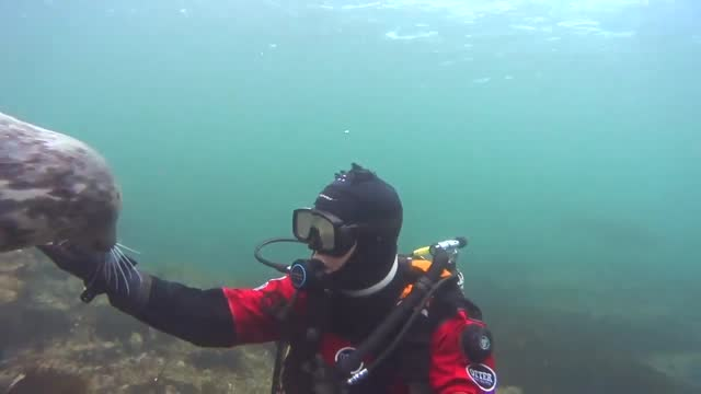 """underwater cameraman ben burville captured the moment a grey seal engaged in play and used her front flipper to """"shake"""" his hand while diving in the... - undersea stock videos & royalty-free footage"""
