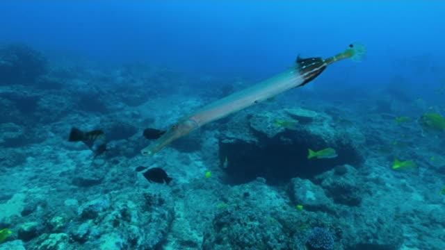 underwater, chinese trumpetfish, ogasawara, japan - trumpet fish stock videos & royalty-free footage