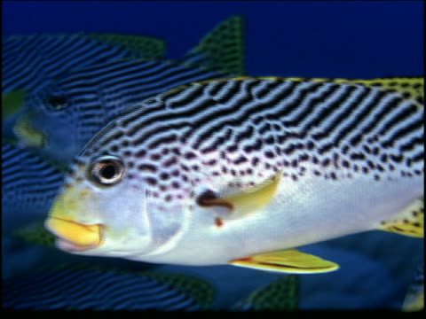 underwater close up pan fish (goldman's sweetlips?) swimming in school / great barrier reef, australia - gill stock videos & royalty-free footage