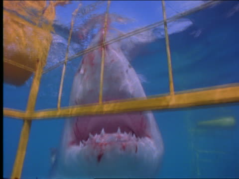 underwater close up great white shark eating bait swimming toward cage