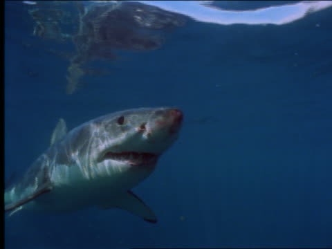 underwater close up great white shark swimming toward camera near cage - 2001 stock videos and b-roll footage