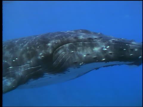vídeos de stock e filmes b-roll de underwater close up humpback whale swimming past camera in clear blue water / moorea, tahiti - organismo aquático