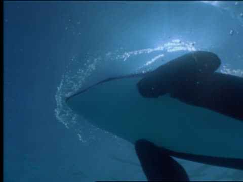 underwater close up killer whale swimming past camera with sunlight thru water