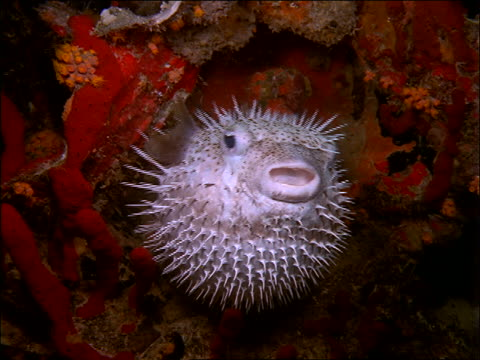 underwater close up of spiny puffer fish swimming near coral - puffer fish stock videos & royalty-free footage