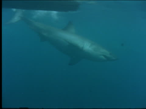 underwater close up shark swimming toward camera + biting into bait - 2001 stock videos and b-roll footage