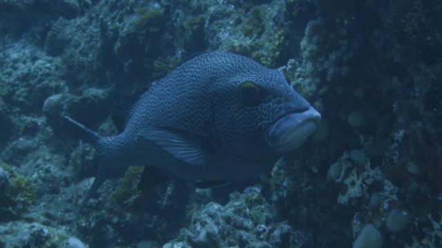 underwater, close-up; a fish in ogasawara, japan - sweetlips stock videos & royalty-free footage