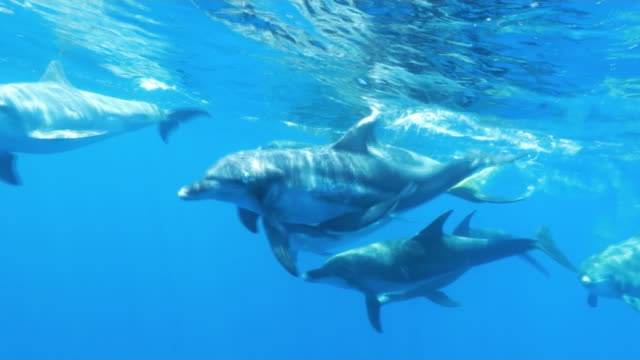 underwater, close-up, a flock of dolphins in ogasawara, japan - delfin stock-videos und b-roll-filmmaterial