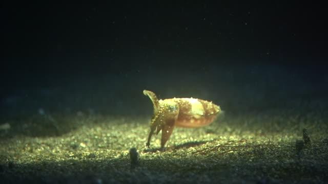 underwater, close-up, a squid, izu oshima, japan - sepialiknande bläckfisk bildbanksvideor och videomaterial från bakom kulisserna