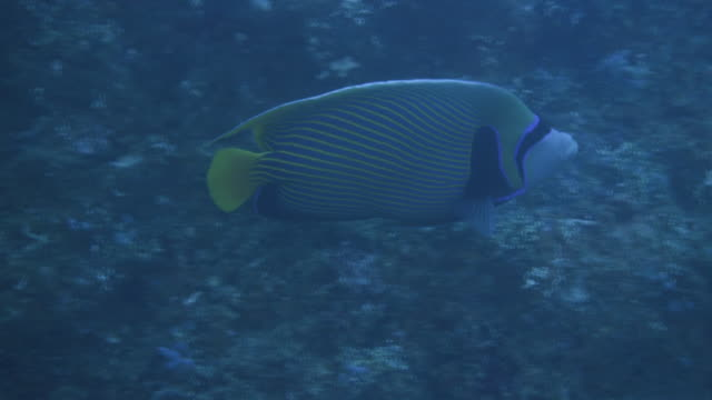 underwater, close-up, a striped fish in ogasawara, japan - angelfish stock videos & royalty-free footage