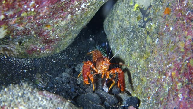 vídeos de stock, filmes e b-roll de underwater close-up: bright orange lobster trying to grab shell - lagosta marisco