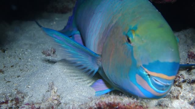 underwater close-up: colorful parrotfish lying on sand in coral reef - ブダイ点の映像素材/bロール