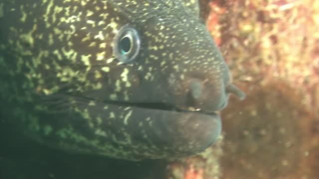 vídeos de stock e filmes b-roll de underwater, close-up, moray eel, izu oshima, japan - moreia enguia de água salgada