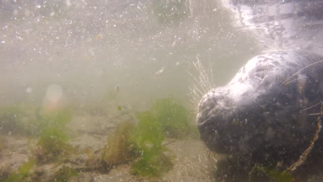 underwater close-up: nose and whiskers of dead seal in murky water - 海藻点の映像素材/bロール