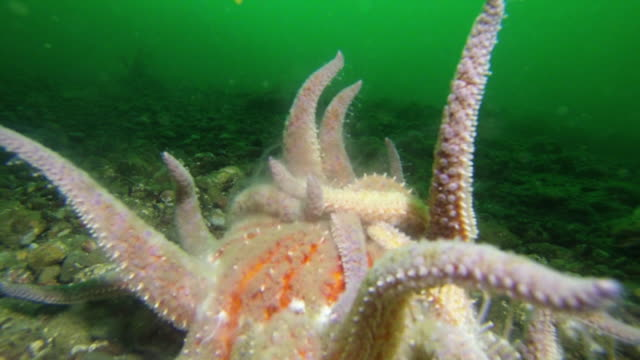 stockvideo's en b-roll-footage met underwater close-up: octopus with tentacles sitting on bottom of puget sound - noordelijke grote oceaan