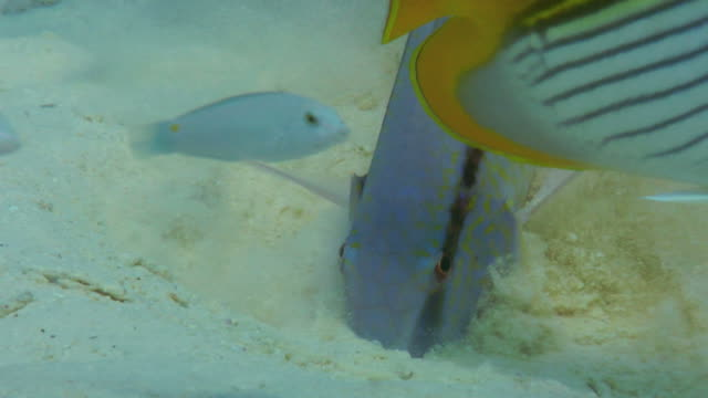 / underwater closeup of a goatfish digging in the sand with several other fish coming by to see if there is extra food