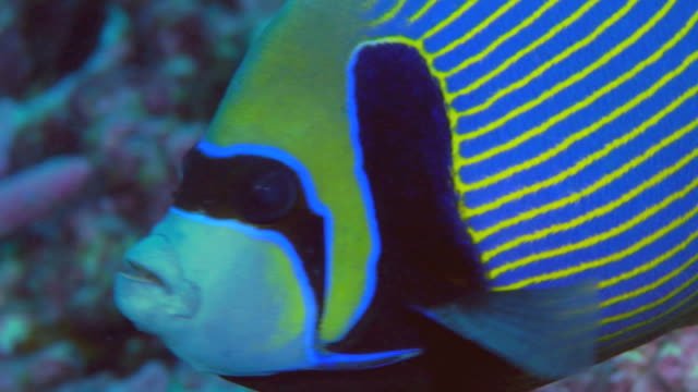 / underwater closeup of emperor angelfish swimming along coral reef from right to left - angelfish stock videos & royalty-free footage
