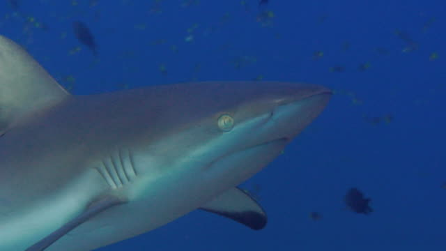 / underwater closeup of grey reef shark swimming through frame left to right - grey reef shark stock videos & royalty-free footage