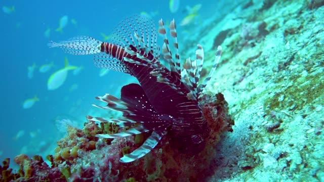 underwater close-up of venemous lionfish aka zebra fish (pterois) - surf fishing stock videos & royalty-free footage