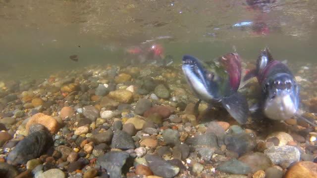 vídeos de stock e filmes b-roll de underwater close-up: three colorful fish swimming in shallow, rocky water - grupo pequeno de animais