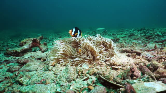 underwater clown fish clarkes anemonefish (amphiprion clarkii) surviving on otherwise bleached coral reef - sea anemone stock videos & royalty-free footage
