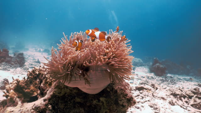 underwater clown fish (amphiprion ocellaris) in magnificent sea anemone (heteractis magnifica) - symbiotic relationship stock videos & royalty-free footage