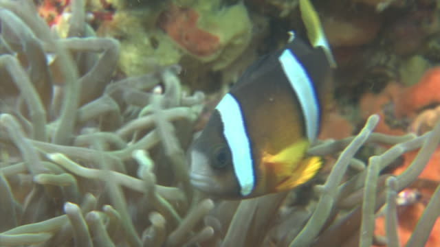 stockvideo's en b-roll-footage met underwater, clownfish in sea anemone, izu oshima, japan - clownvis