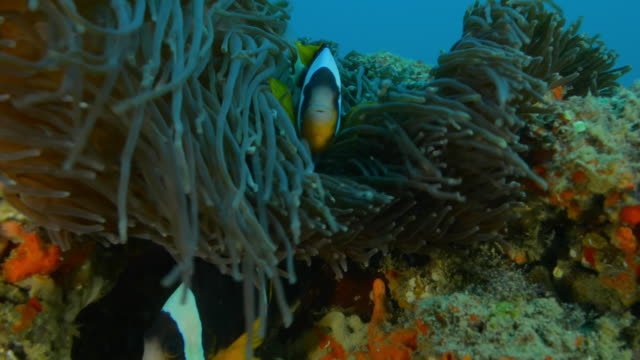 Underwater MS Clownfish swimming in tentacles of large sea anemone