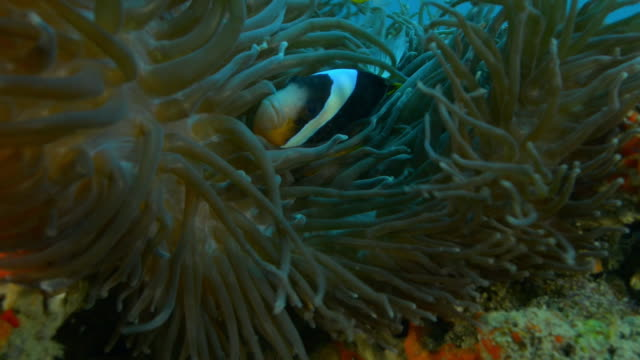 Underwater CU Clownfish swimming in tentacles of large sea anemone