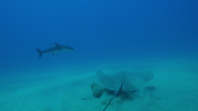 underwater cobia fish pan to reveal stingray then track as they swimming over seabed - stechrochen stock-videos und b-roll-filmmaterial