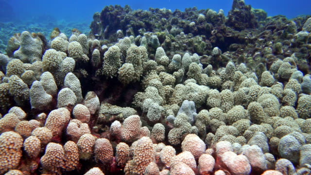 Underwater Coral bleaching on damaged fragile ecosystem ocean reef environment