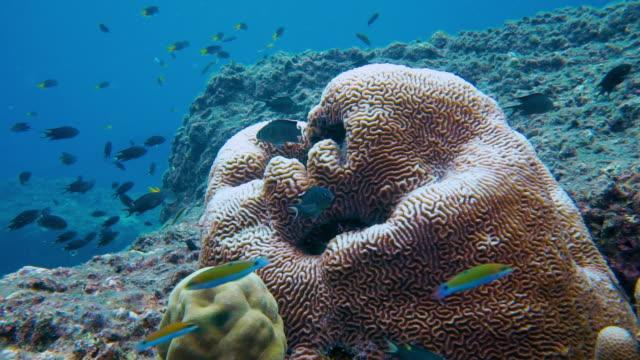 vídeos y material grabado en eventos de stock de submarino coral blanqueo de coral laberinto (platygyra sp) - mar de andamán
